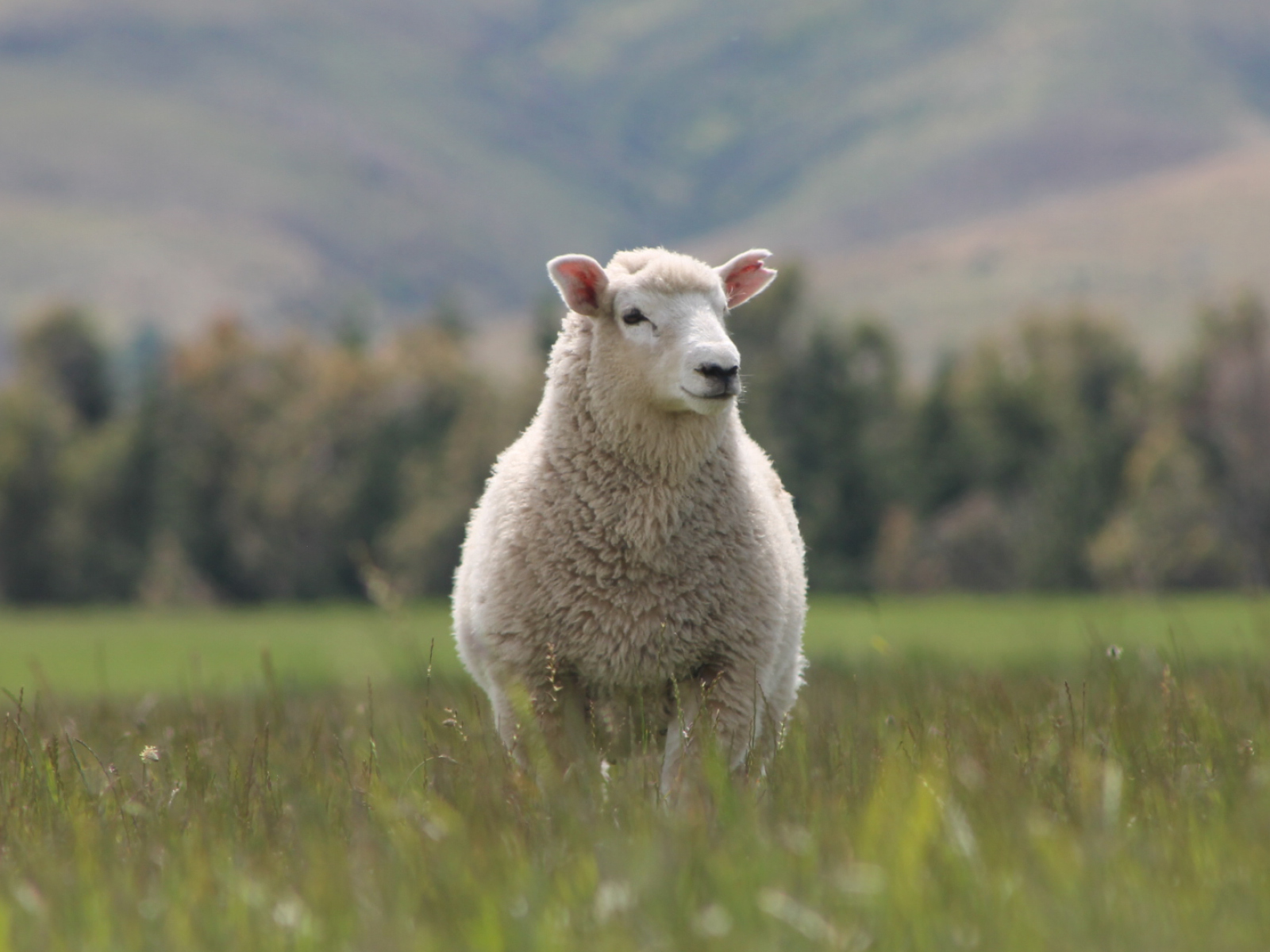 Provenance single sheep blog pic